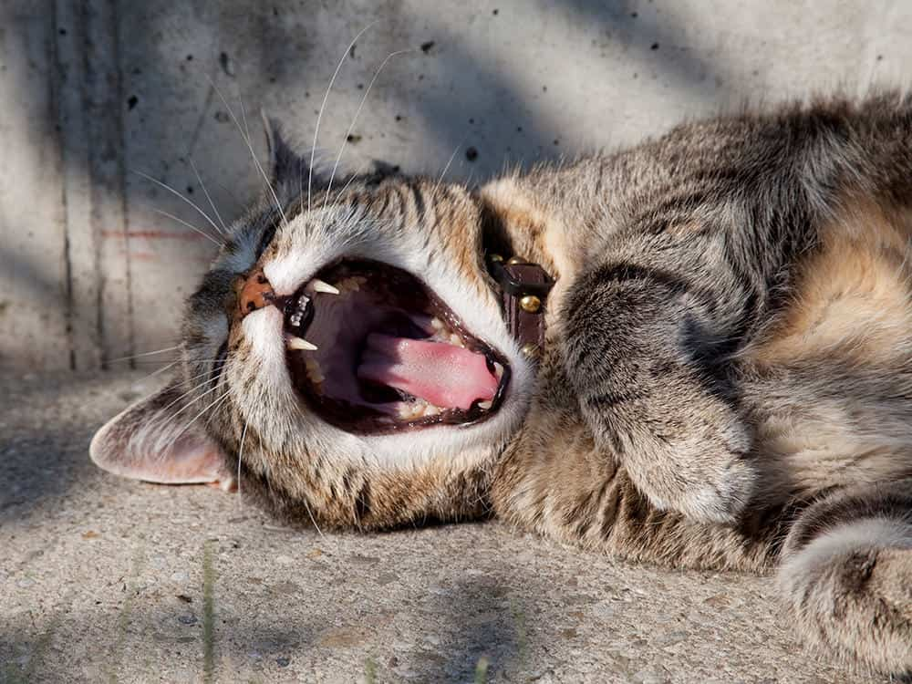 A cat yawning in the sun